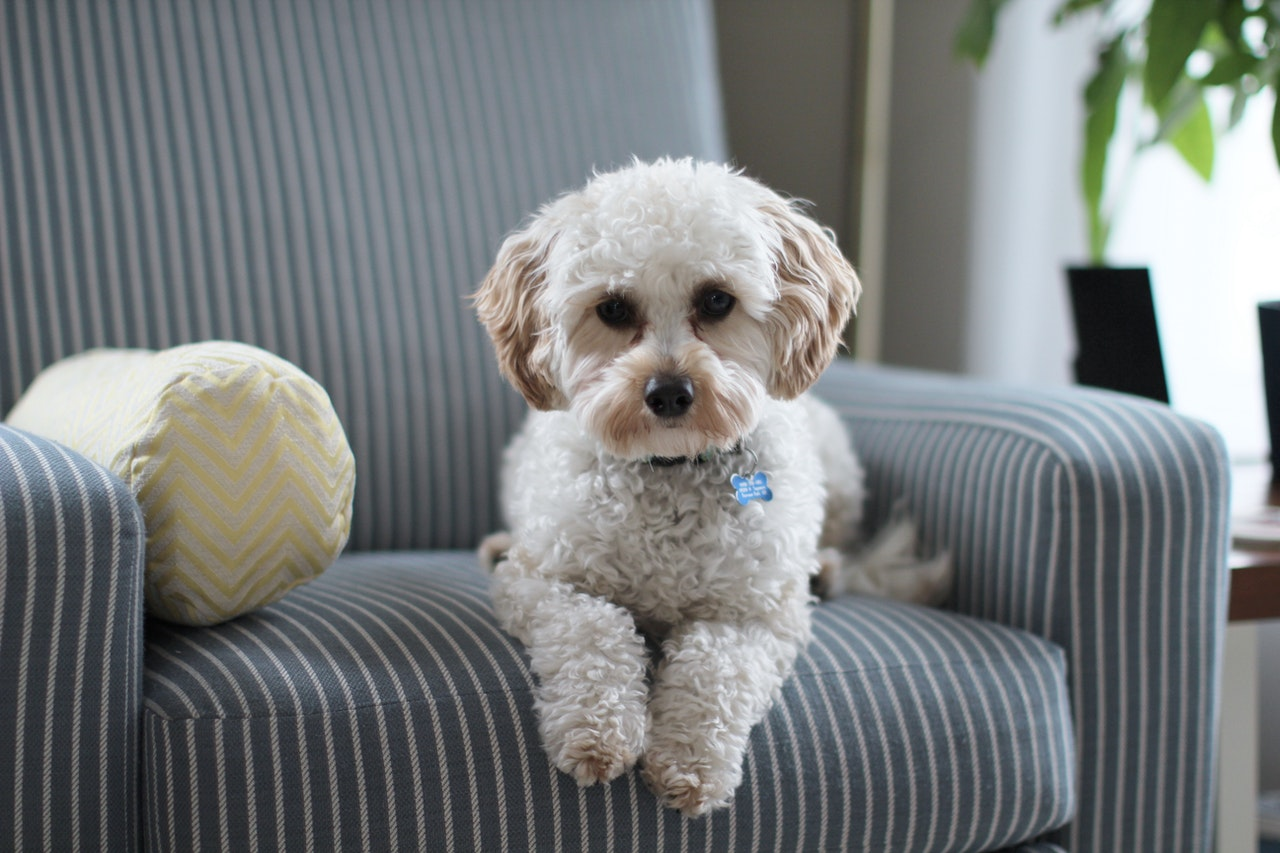a dog sitting in a microsuede couch